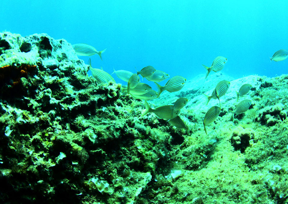diving montenegro underwater world ofmontenegro salpa fish